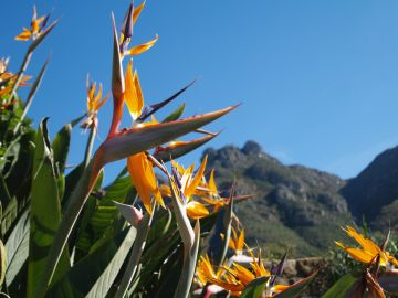 Bird of paradise, Kirstenbosch