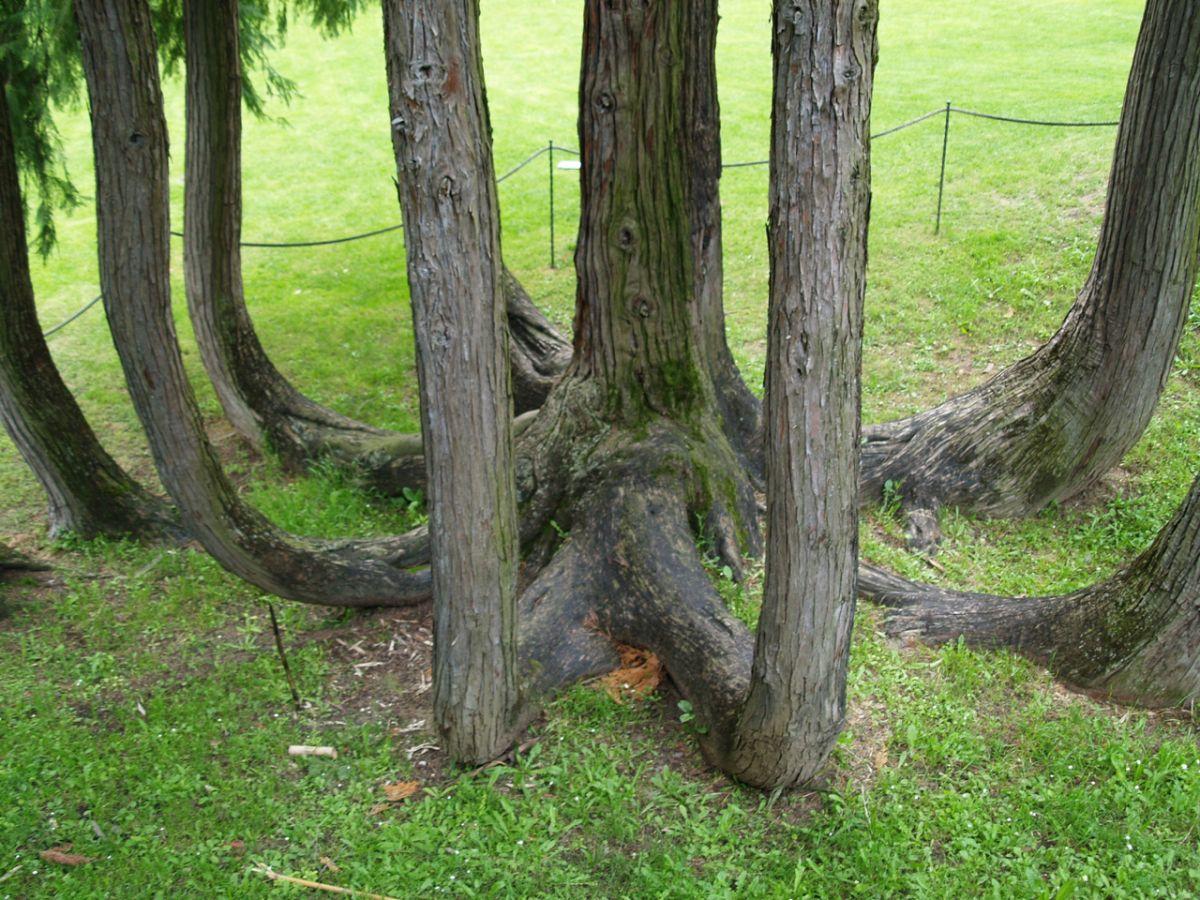 A true multi-stem tree
