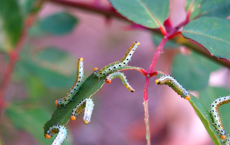 Caterpillars on rose