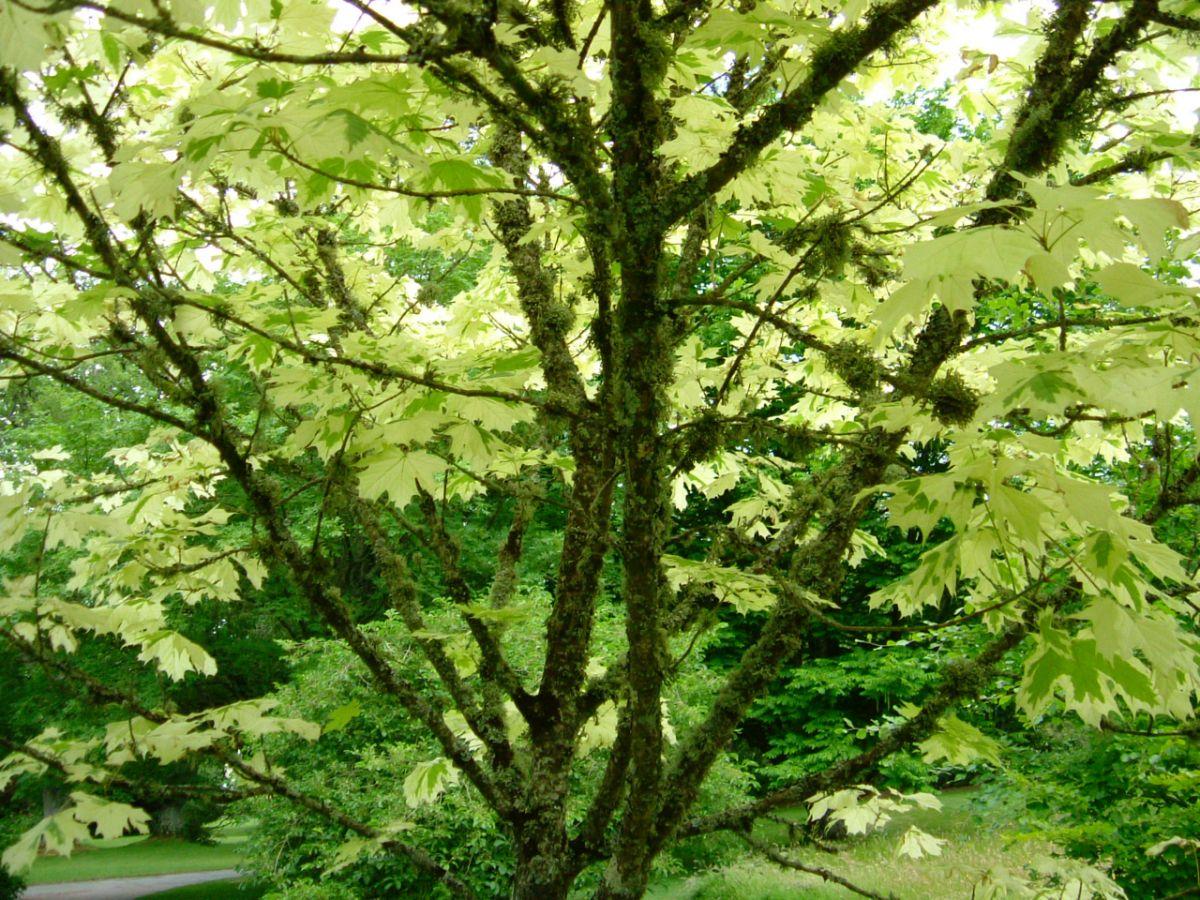 Lichen on Acre tree