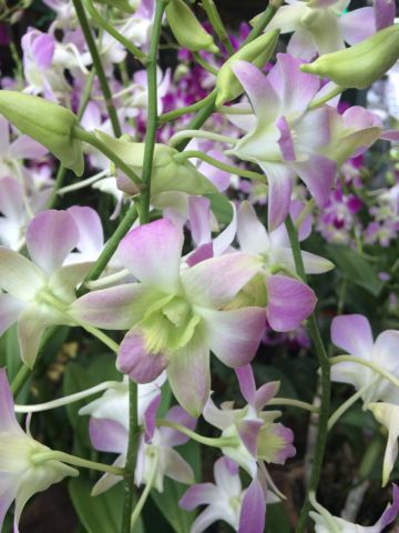 Orchids in Singapore