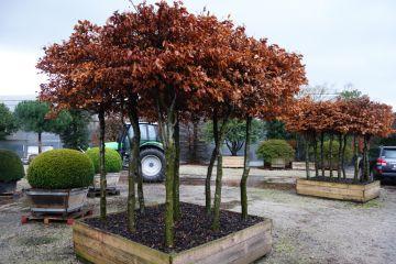 Topiary Hornbeam